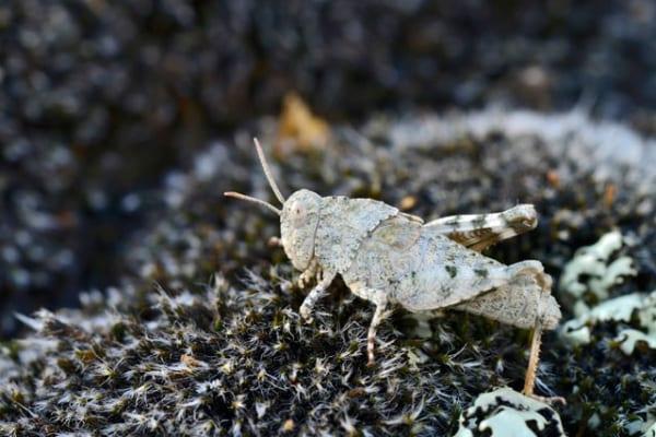 La cavalletta celeste, l'insetto mimetico