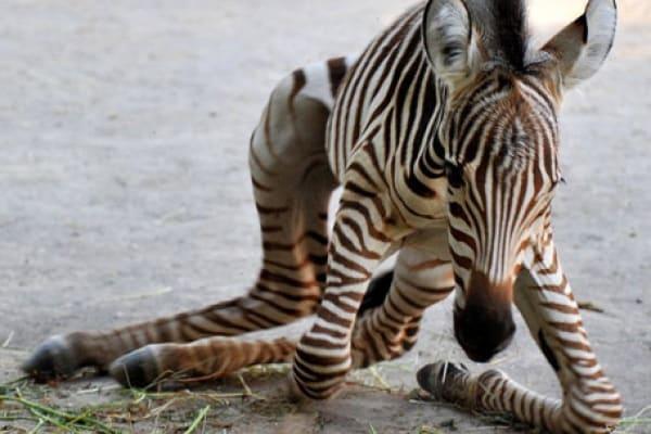 È nata una zebra!