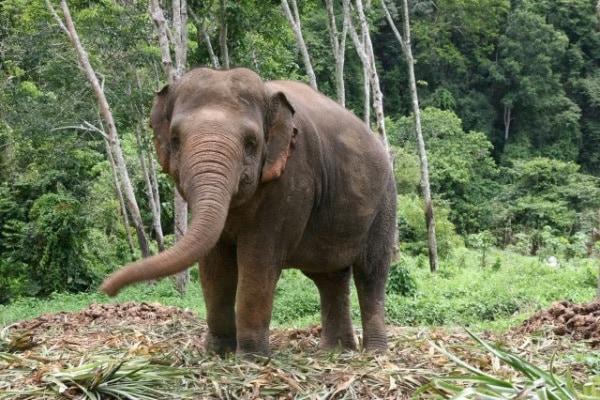 L'elefante asiatico