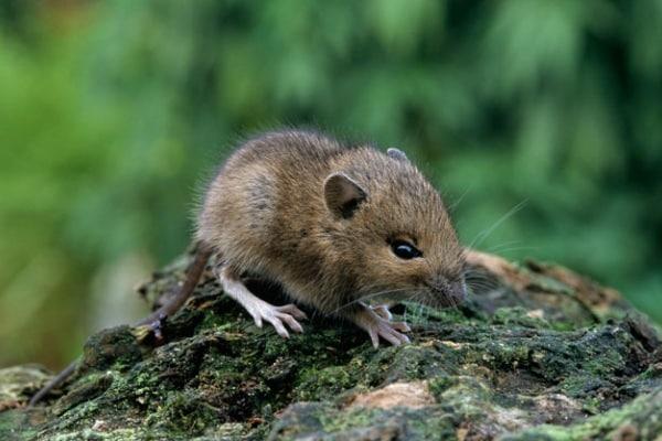 Il topo selvatico