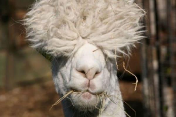 Foto divertenti con animali: ma che capelli!