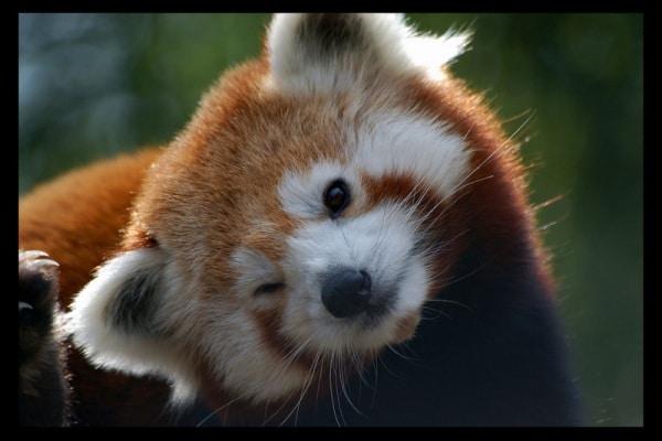 Animali divertenti | RRRonf! Il pisolino del panda Rosso