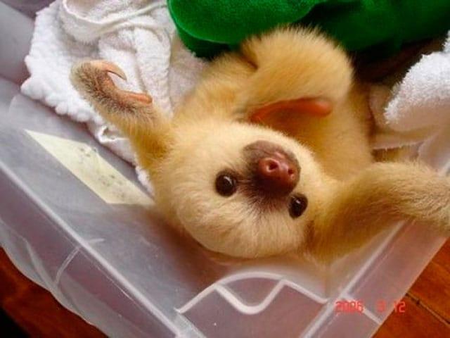 Cuccioli di bradipo | Lenti e tenerissimi!