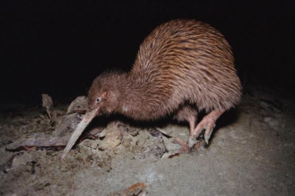 Animale…o frutto? Ecco il kiwi bruno