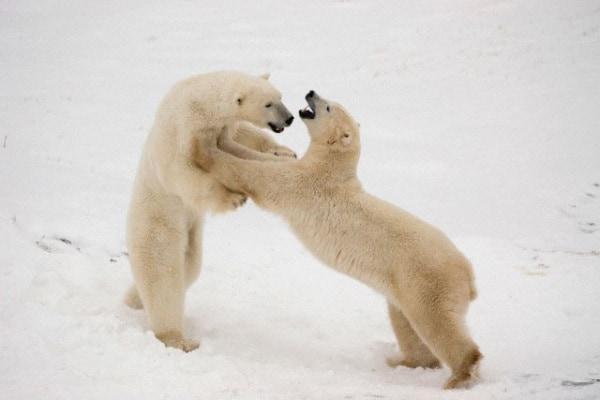Di che colore sono gli orsi bianchi?