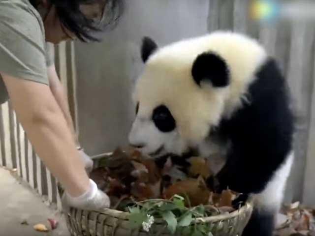 Due panda zuzzurelloni!