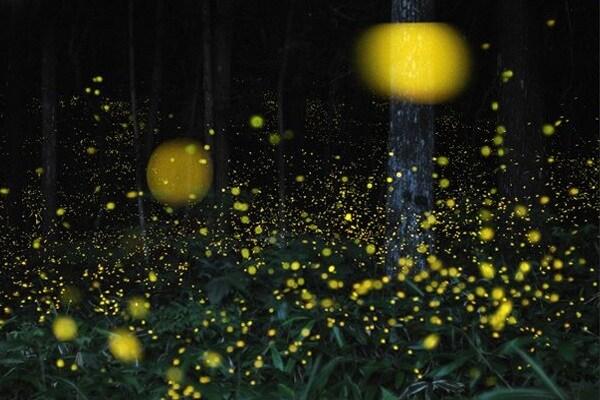 Perché le lucciole fanno luce?