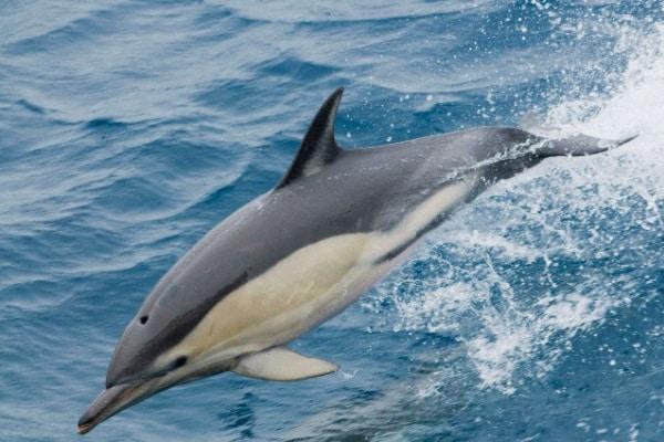 Cetacei: Il delfino comune