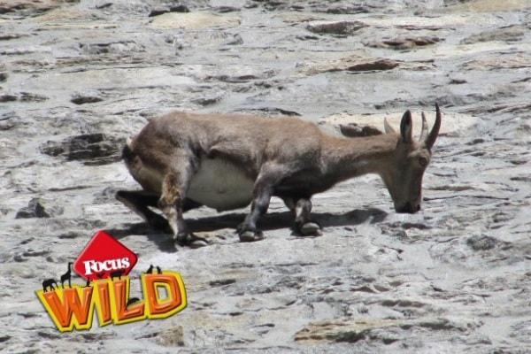 Curiosità animali: gli stambecchi acrobati! | Focus Wild