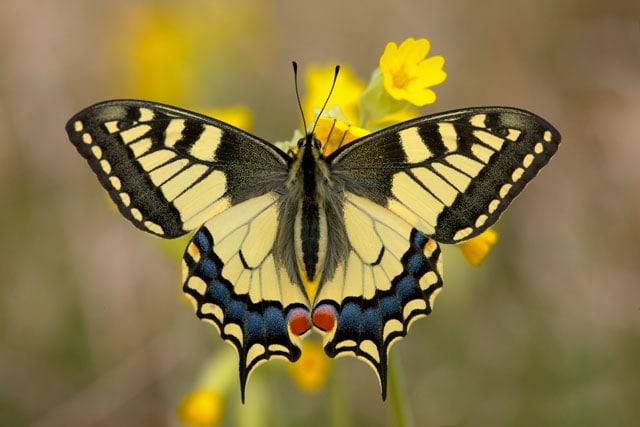 Farfalla macaone, elegante e coloratissima
