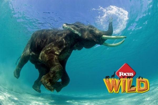 Curiosità animali: tutto sugli elefanti | Focus Wild