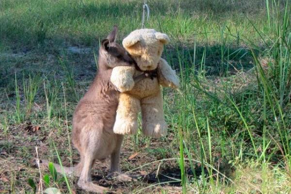 Il canguro orfano si consola con il peluche