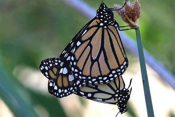 La bussola delle farfalle monarca: ecco il segreto delle loro migrazioni!