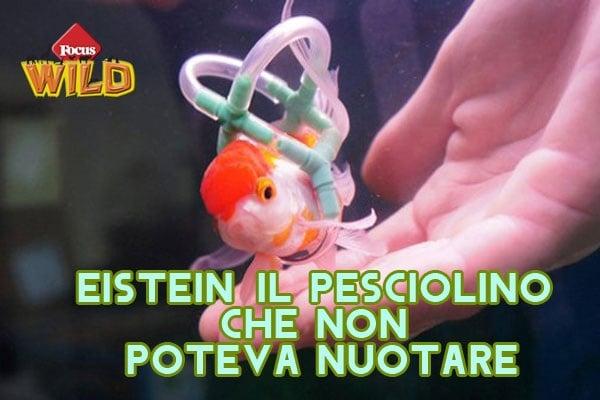 Curiosità animali: Einstein, il pesciolino con il giubbotto di salvataggio | Focus Wild