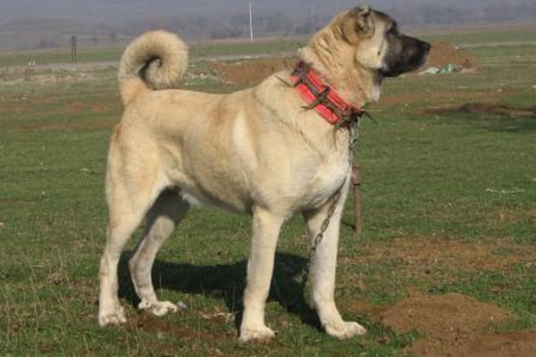 Kangal | Il gigantesco cane guardiano!