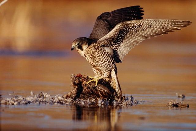 Voli rapaci: Conosciamo il falco pellegrino