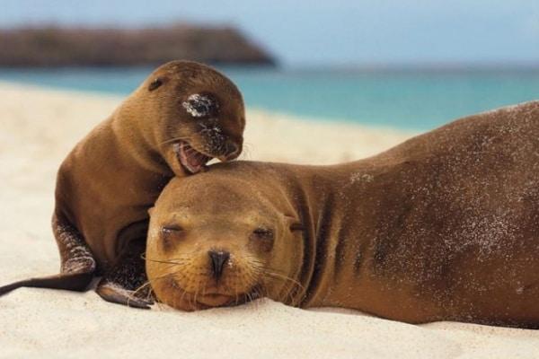 Leone marino | Fatti e curiosità!