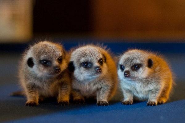 Animali | Alla scoperta dei simpatici suricati