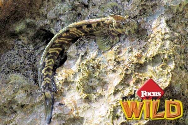 Alticus saliens  | Il pesce che cammina fuori dall'acqua!