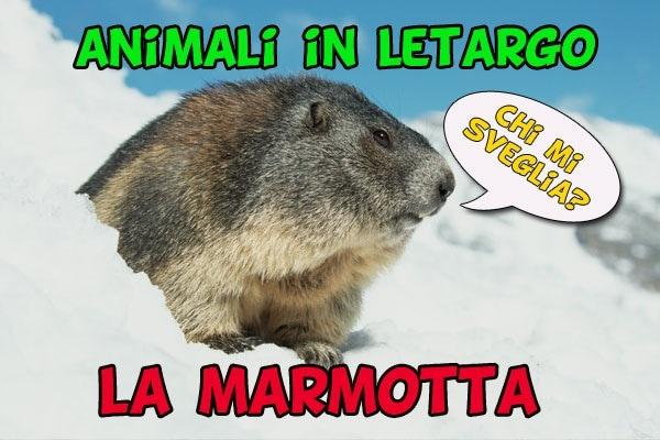 Animali in letargo: la marmotta