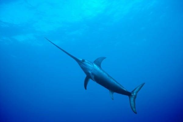 Il pesce spada, il predatore migratore