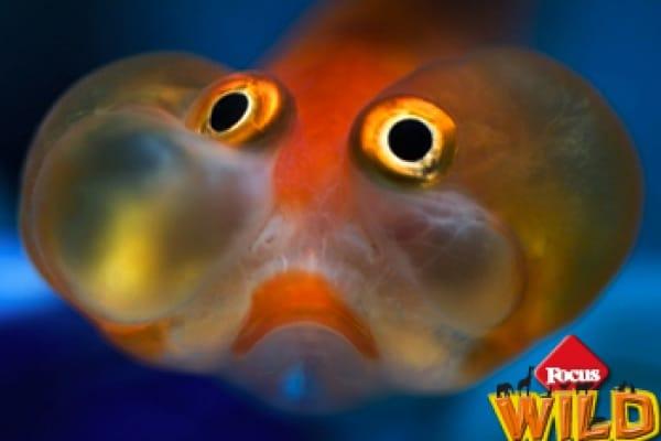 Curiosità animali: Bubble eye o il Carassio occhi a bolla d'acqua, il pesce che sbuffa sempre | Focus Wild