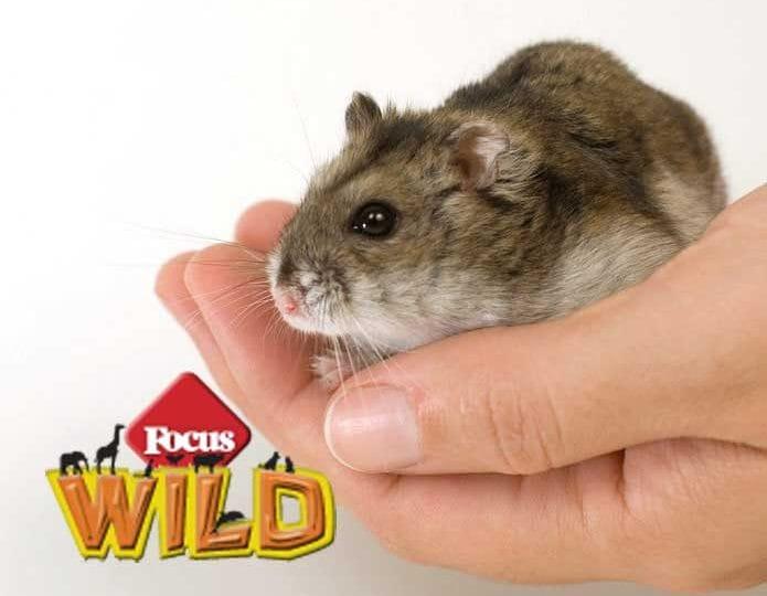 Curiosità animali: Perché i criceti mordono? | Focus Wild