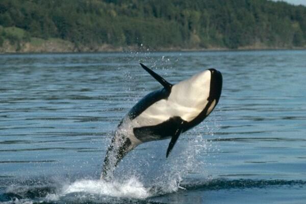L'orca, la famelica predatrice dell'oceano!