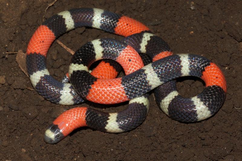 Nuovi anticorpi artificiali per il veleno di serpente for Veleno per serpenti