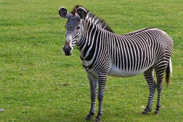 """Perché le zebre hanno le strisce? Una zebra a pois""""… No a strisce!"""