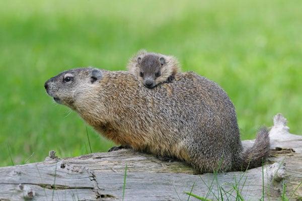Animali in letargo la marmotta focus junior - Foto di animali dell oceano ...