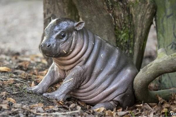E' nata Olivia, la piccola di ippopotamo