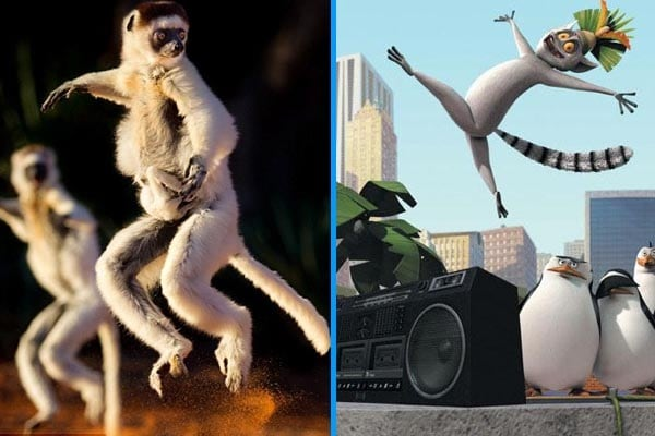 I lemuri ballerini come Re Julien di Madagascar!