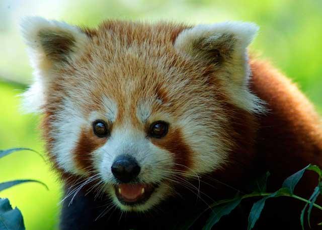 Curiosità animali | I panda rossi che da piccoli… non sono rossi!