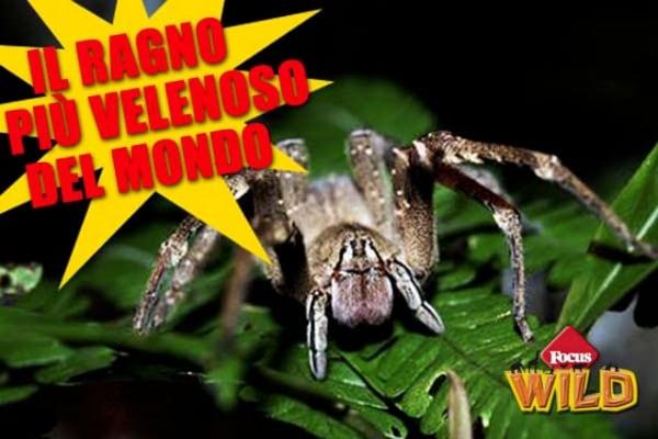 Il ragno più velenoso del mondo è il ragno vagabondo del Brasile