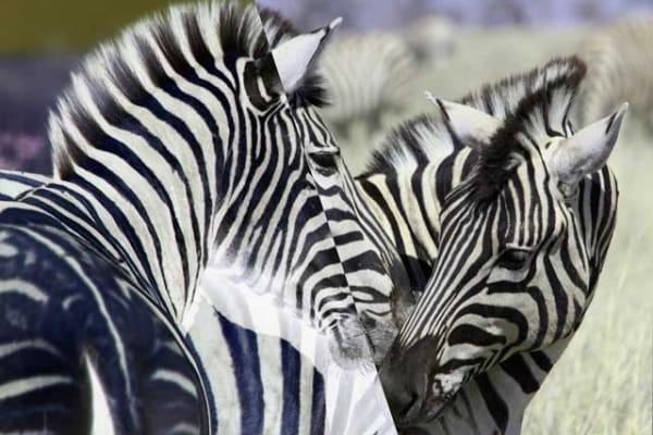La zebra è bianca a righe nere o nera a righe bianche?