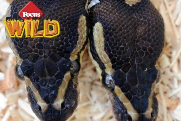 Curiosità animali: il pitone a due teste | Focus Wild