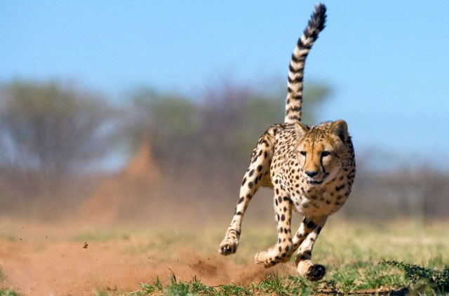 Olimpiadi bestiali: i record degli animali!