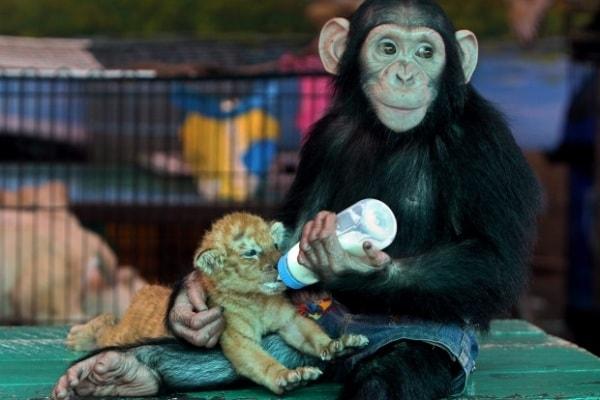 Strane coppie: lo scimpanzé che allatta il tigrotto!