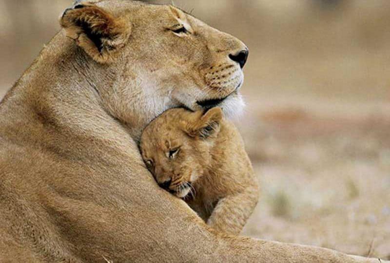 Leonesse e cuccioli | Una savana piena di… tenerezze!