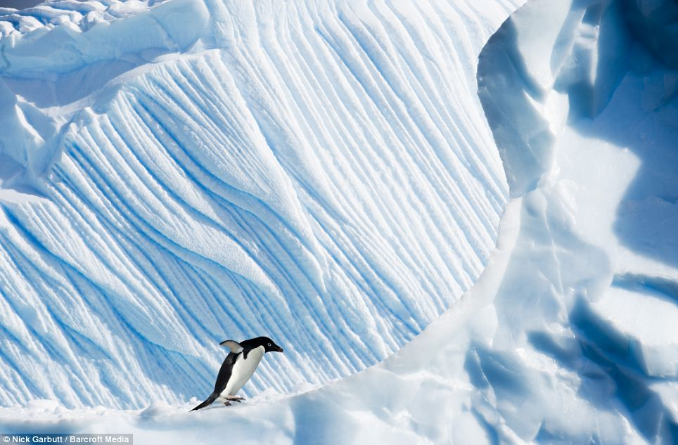 Come fa il pinguino a risalire sul ghiaccio così agilmente?