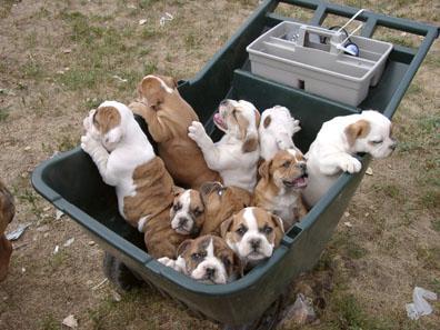 Bulldog inglese: 5 curiosità