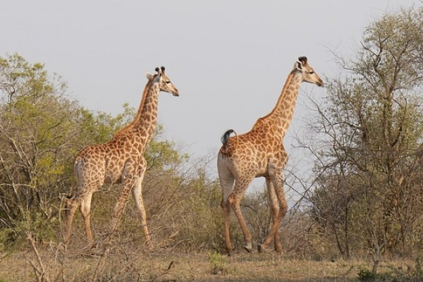 Perché le giraffe hanno il collo lungo?