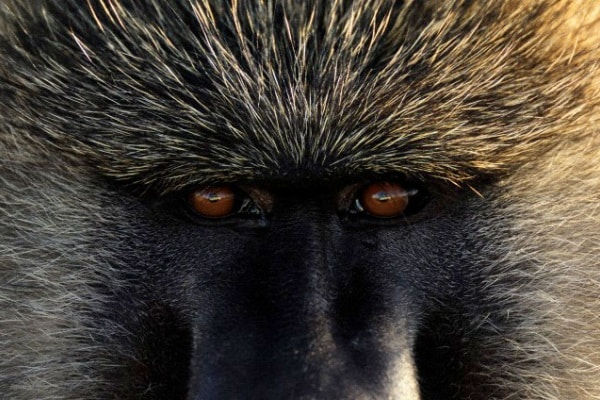 Il babbuino giallo