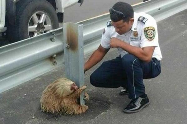 Storia a lieto fine del bradipo che attraversa l'autostrada
