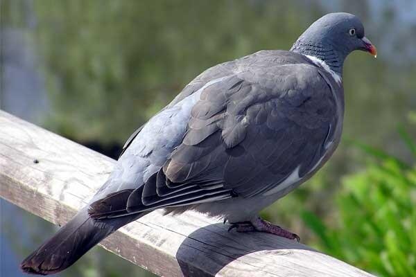 Il sesto senso dei piccioni viaggiatori