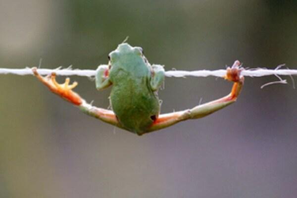 Rane equilibriste sfidano le leggi di gravità in posizioni assurde. Guarda!