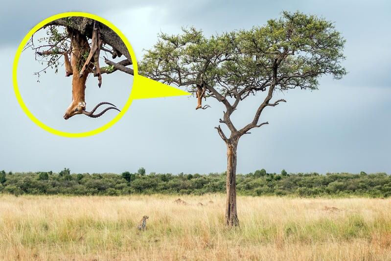 La preda sull'albero   La trovata dei leopardi