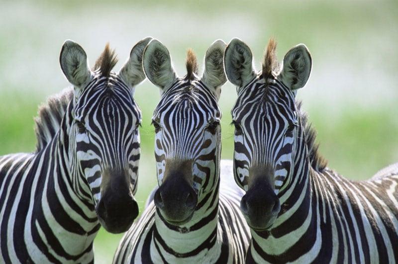Tutti in riga! | Un mondo di animali a strisce