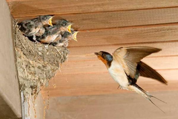 """La rondine comune, un uccello """"costruttore""""!"""